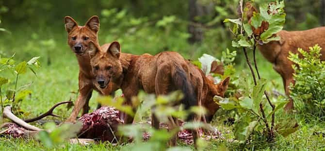 Dhole in Nagarhole National Park